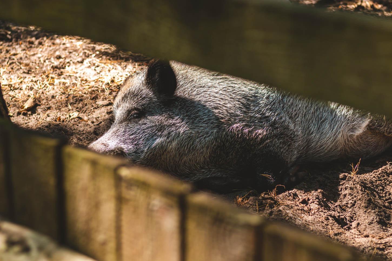 Dzik wzagrodzie wWolińskim Parku Narodowym