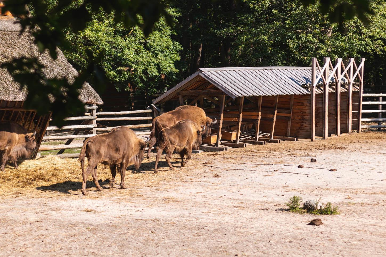 Żubry wWolińskim Parku Narodowym