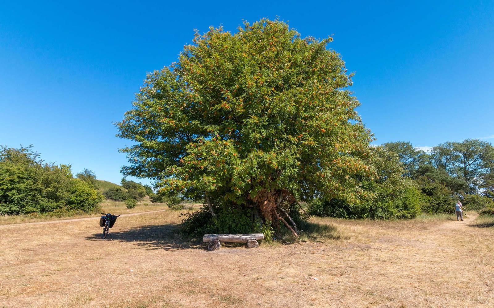 Wielkie drzewo wSüdspitze Gnitz