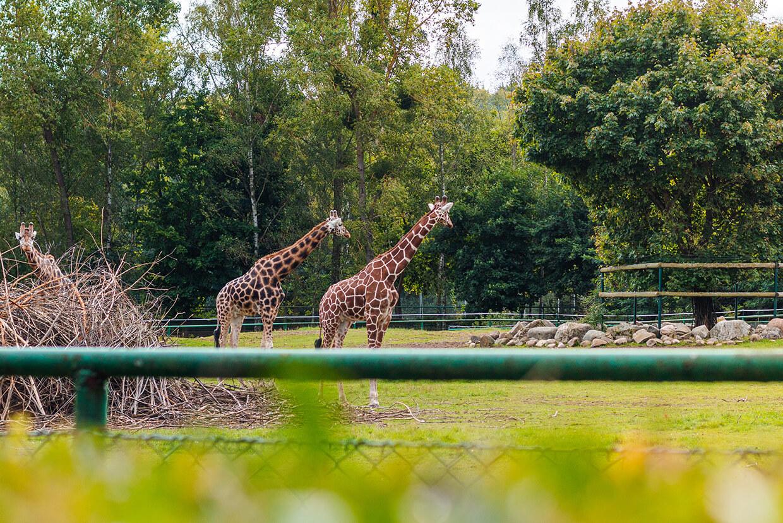Żyrafy wZoo